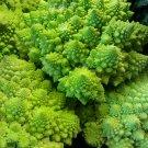 HEIRLOOM NON GMO Romanesco Italia Broccoli 100 seeds