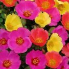 HEIRLOOM NON GMO Purslane (Portulaca Oleracea Toucan Hot Mix) 50 seeds