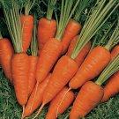 HEIRLOOM NON GMO St Valerie Carrot 50 seeds