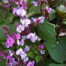 HEIRLOOM NON GMO Moonshadow Hyacinth Bean 15 seeds