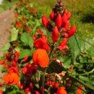 HEIRLOOM NON GMO Golden Sunshine Runner Bean 25 seeds