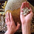 HEIRLOOM NON GMO Skyscraper Sunflower25 seeds