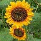 HEIRLOOM NON GMO Dwarf Edible Sunflower25 seeds