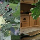 HEIRLOOM NON GMO Giant Kholrabi 50 seeds