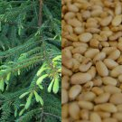 HEIRLOOM NON GMO Korean Pine (Pine Nuts) 10 seeds USA SELLER