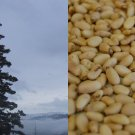 HEIRLOOM NON GMO Siberian Pine (Pine Nuts) 10 seeds USA SELLER