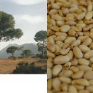 HEIRLOOM NON GMO Italian Stone Pine (Pine Nuts) 10 seeds USA SELLER