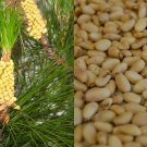 """HEIRLOOM NON GMO Horsetail """"Masson's"""" Pine (Pine Nuts) 10 seeds USA SELLER"""