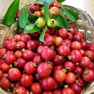 HEIRLOOM NON GMO Strawberry Guava 10 seeds