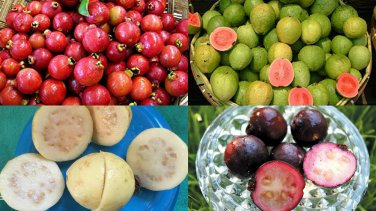 HEIRLOOM NON GMO Guava Mix 10 seeds