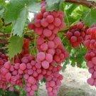 HEIRLOOM NON GMO Red Globe Grape 10 seeds