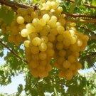 HEIRLOOM NON GMO Golden Gaza Grape 10 seeds