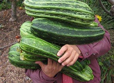 HEIRLOOM NON GMO Costata Romanesco Squash 15 seeds