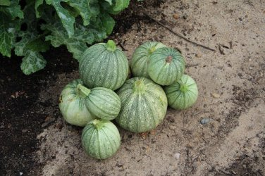 HEIRLOOM NON GMO Ronde De Nice Squash 15 seeds