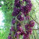 HEIRLOOM NON GMO Black Velvet Bean 25 seeds
