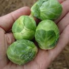HEIRLOOM NON GMO Long Island Improved Brussels Sprouts 100 seeds