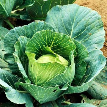 HEIRLOOM NON GMO Charleston Wakefield Cabbage 100 seeds