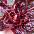 HEIRLOOM NON GMO Grumolo Rossa di Verona Chicory 100 seeds