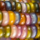 HEIRLOOM NON GMO Glass Gem Corn 25 seeds