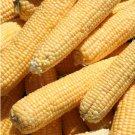 HEIRLOOM NON GMO Kandy Corn 25 seeds