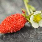 HEIRLOOM NON GMO Baron Von Solemacher Strawberry 25 seeds