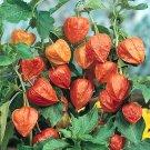 HEIRLOOM NON GMO Chinese Lanern 25 seeds