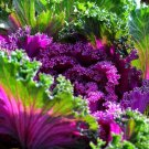 HEIRLOOM NON GMO Ornamental Cabbage Mix 10 seeds