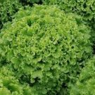 HEIRLOOM NON GMO Blonde Du Cazard Lettuce 100 seeds