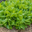 HEIRLOOM NON GMO Butter King Lettuce 100 seeds