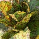 HEIRLOOM NON GMO Flashy Lightning Lettuce 100 seeds