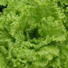 HEIRLOOM NON GMO Grandpa Admire's Lettuce 100 seeds