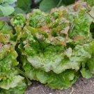 HEIRLOOM NON GMO Rouge Grenobloise Lettuce 100 seeds