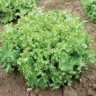 HEIRLOOM NON GMO Tango Lettuce 100 seeds