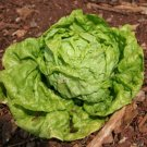 HEIRLOOM NON GMO Tennis Ball Lettuce 100 seeds