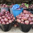 HEIRLOOM NON GMO Violet De Galmi Onion 50 seeds