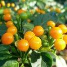 HEIRLOOM NON GMO Aji Charapita Hot Pepper 15 seeds