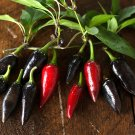 HEIRLOOM NON GMO Black Hungarian Hot Pepper 15 seeds