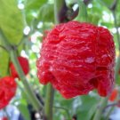 HEIRLOOM NON GMO Red Seven Pot Hot Pepper 15 seeds