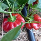 HEIRLOOM NON GMO Gambo Pepper 25 seeds
