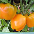 HEIRLOOM NON GMO Golden Cal Wonder Pepper 25 seeds