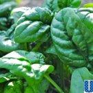 HEIRLOOM NON GMO Galilee Spinach 100 seeds