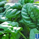 HEIRLOOM NON GMO Giant Noble Spinach 100 seeds