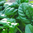 HEIRLOOM NON GMO Merlo Nero Spinach 100 seeds