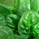 HEIRLOOM NON GMO New Zealand Spinach 100 seeds