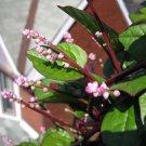 HEIRLOOM NON GMO Red Malabar Spinach 100 seeds
