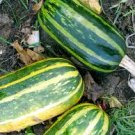 HEIRLOOM NON GMO Table Dainty Squash 15 seeds