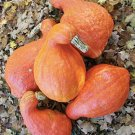 HEIRLOOM NON GMO Boston Marrow Winter Squash 15 seeds