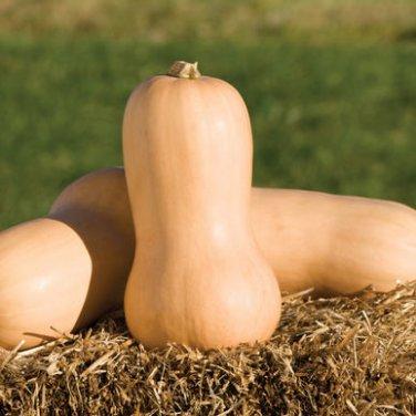 HEIRLOOM NON GMO Butternut-Waltham Squash 15 seeds