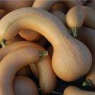 HEIRLOOM NON GMO Canada Crookneck Squash 15 seeds