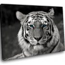 White Tiger Rare Bengal Tiger Blue Eyes 50x40 Framed Canvas Art Print